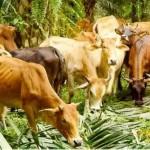 Abu Nawas dan Kisah Enam Ekor Lembu yang Pandai Bicara