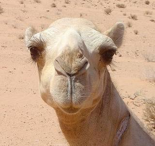 http://www.sufiz.com/wp-content/uploads/2010/04/camel.jpg